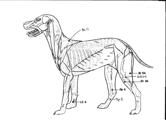 Use the acupressure points below, every day, for dogs with Hip Dysplasia and weekly, for dogs with a predisposition to Hip Dysplasia or any signs of hind end pain or lameness.
