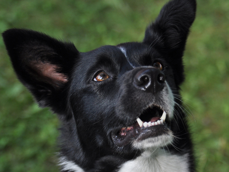 Border Collie Mix, Acupressure for Ear Infections